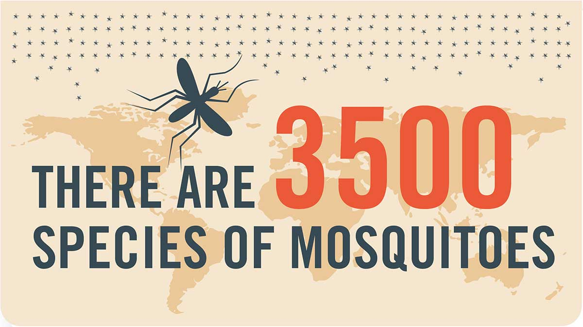 Mosquito tip: There are 3500 species of mosquitoes