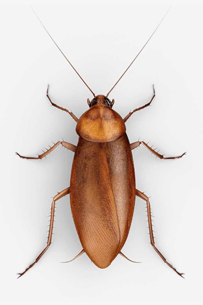 Entomologieforschung zu erwachsenen Schaben
