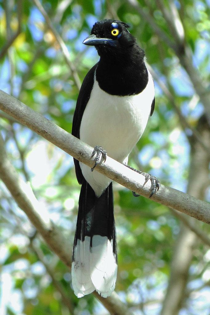 Гралья-канкан— бразильская птица из Каатинги