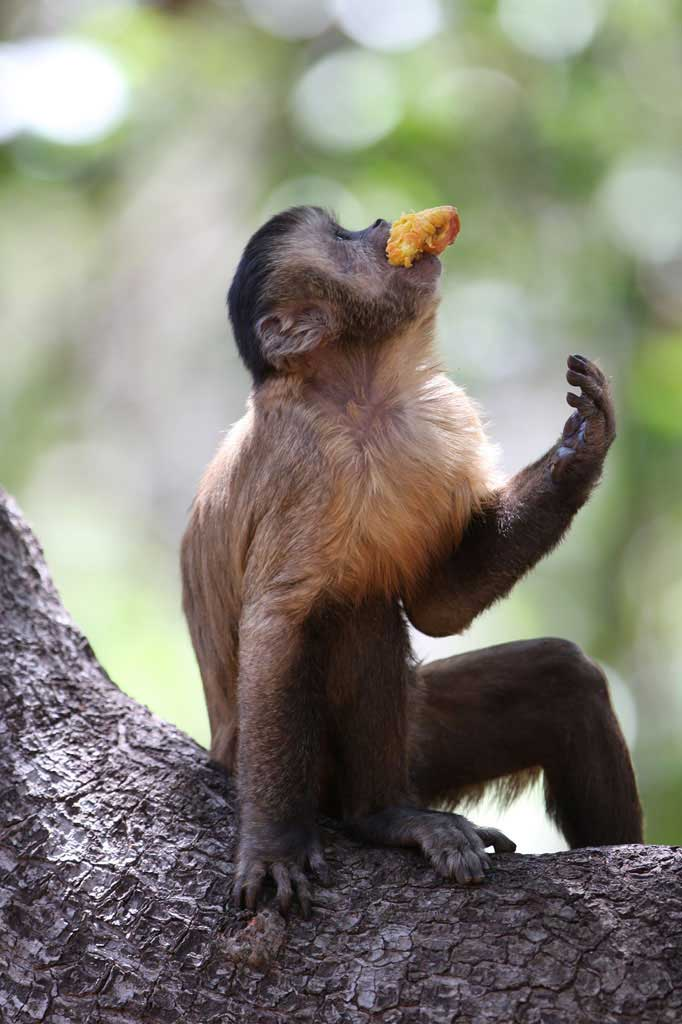 Black-striped Capuchin monkey in Caatinga