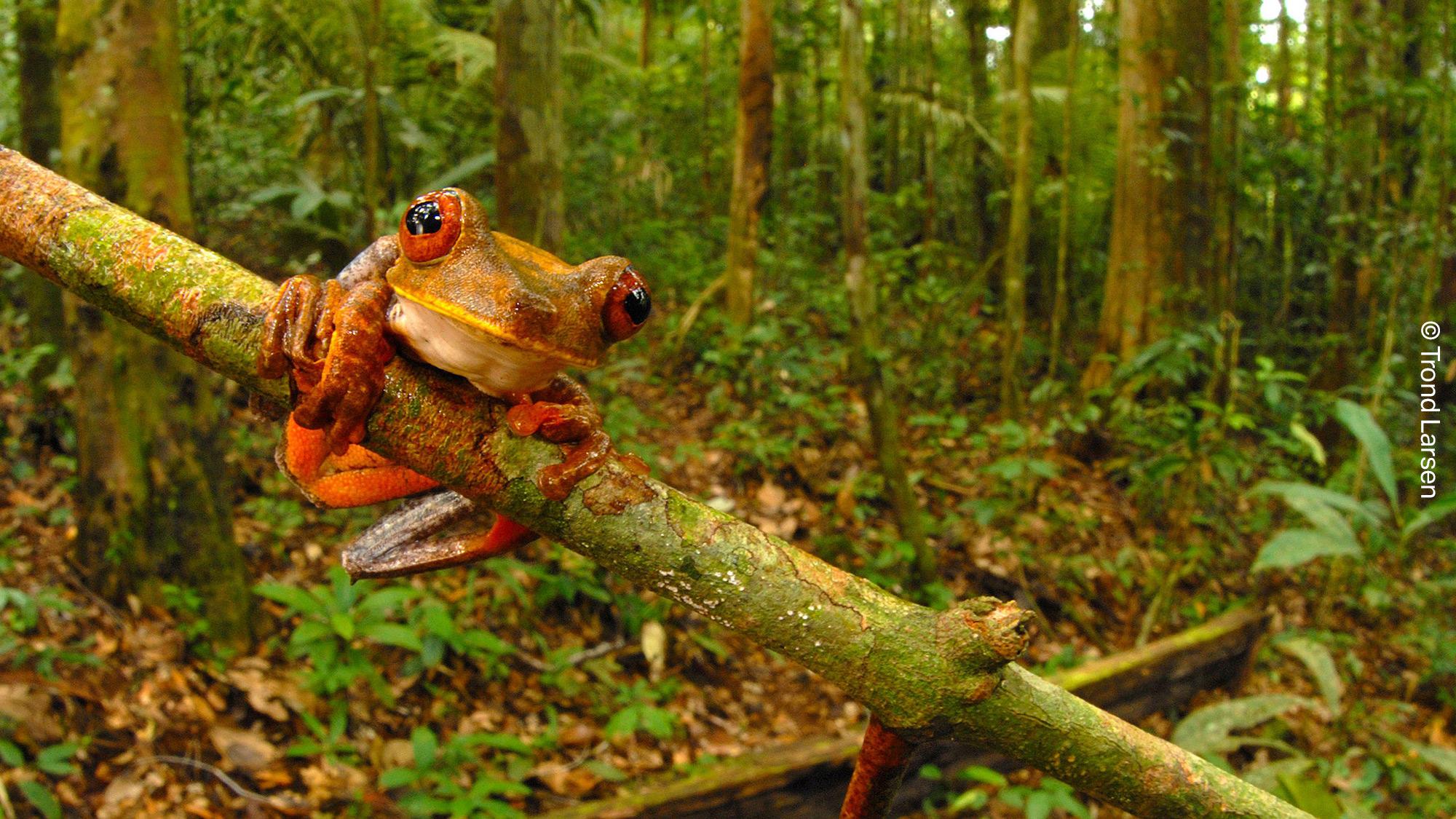 Um sapo verde nativo encontrado da região da Amazônia, no Brasil