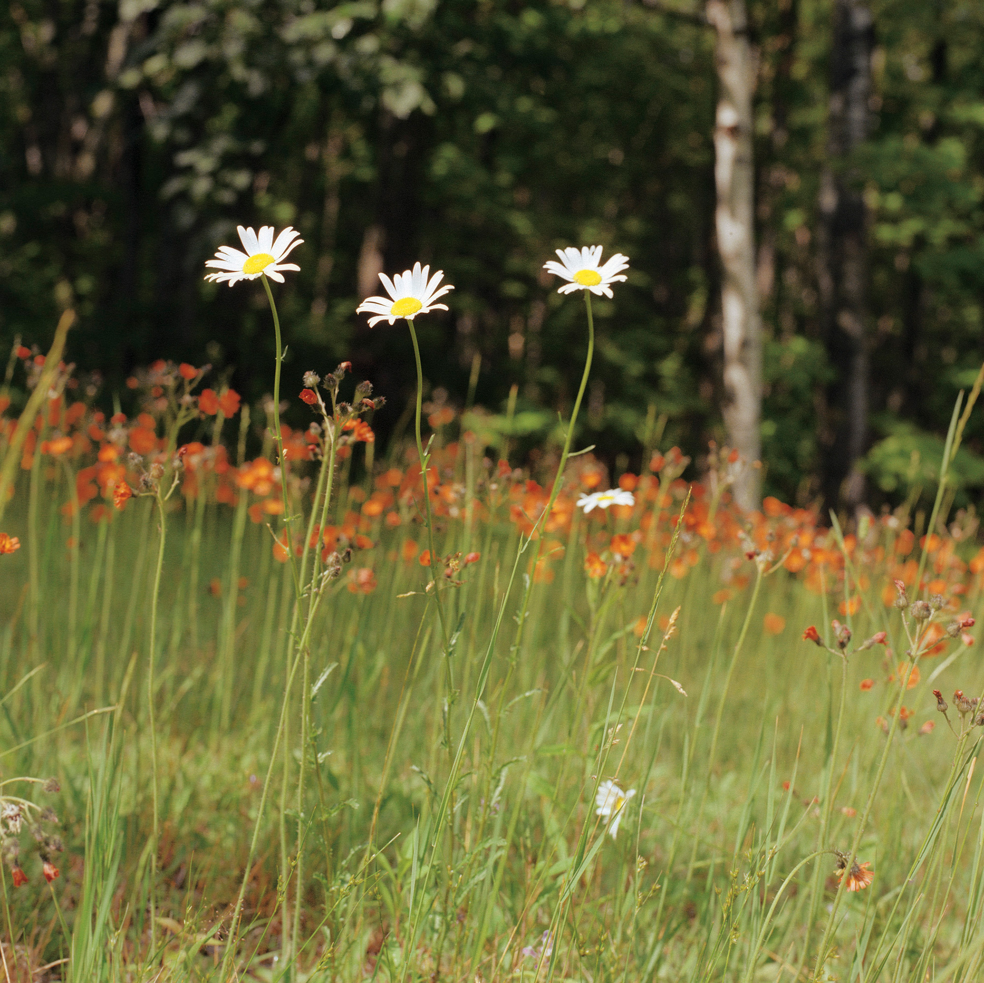 Samuel C Johnson, Jr.'s photograph of daisies and hawkweed in Lake Owen, Wisconsin.