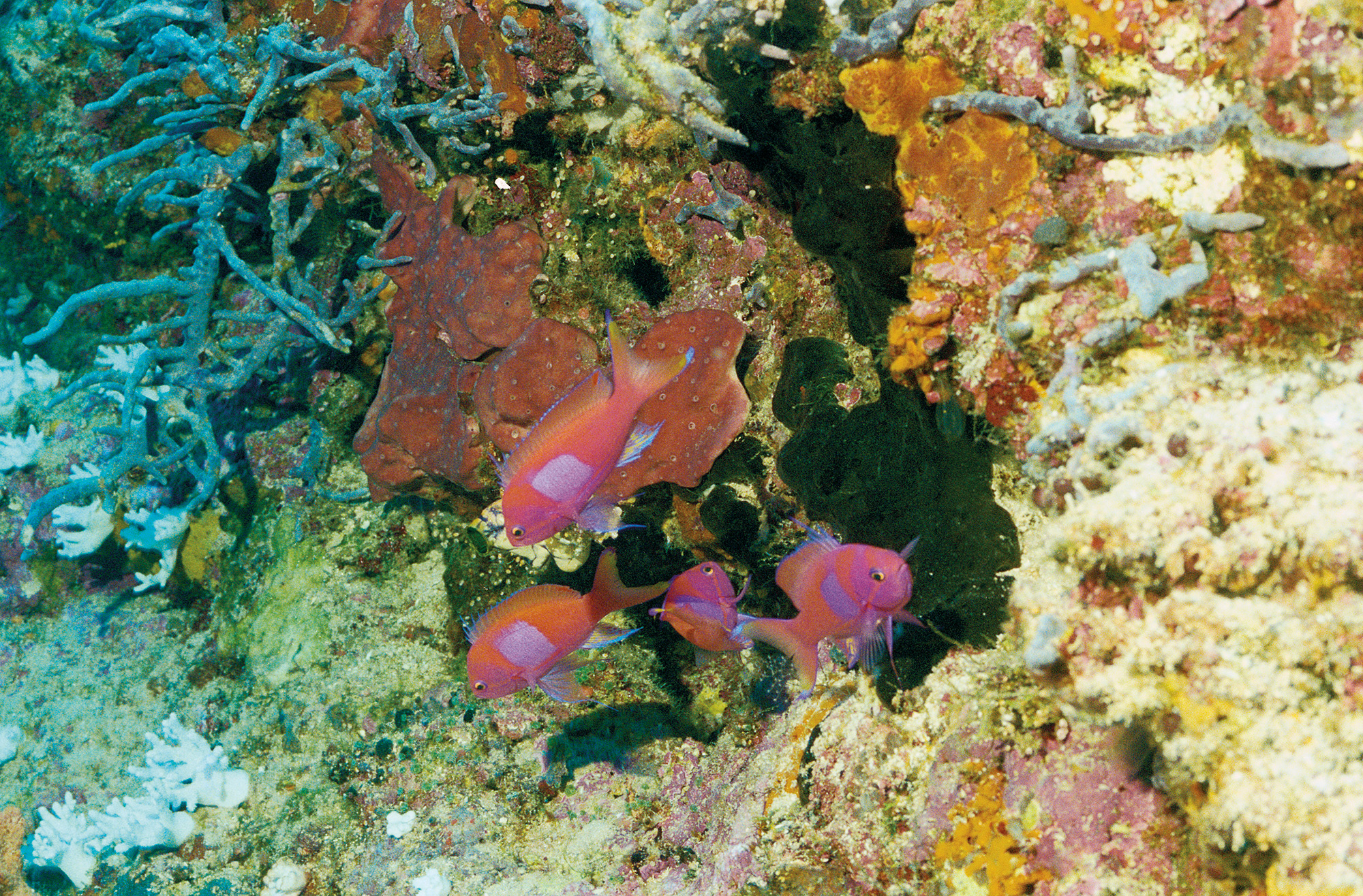 Squarespot Anthias à Papau, Nouvelle-Guinée, photographie par Sam Johnson